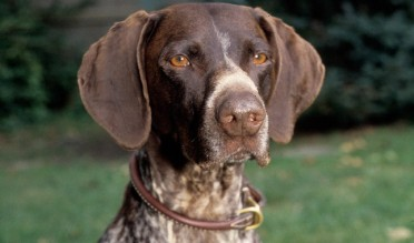 German-Shorthair-Pointer-3-645mk062111